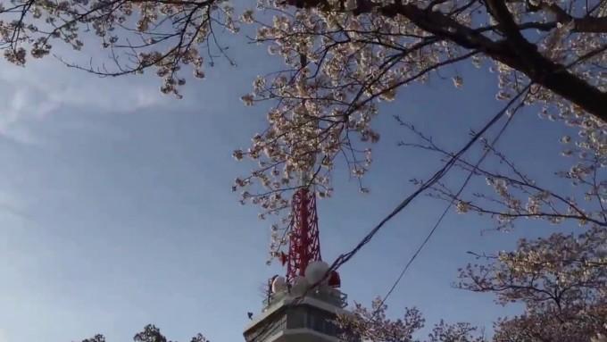 八幡山公園 桜