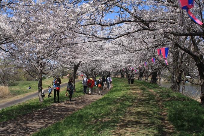 福岡堰さくら公園 桜