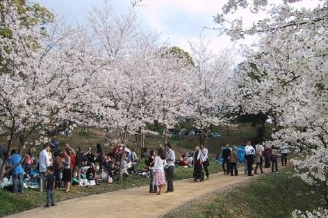 福岡西公園 (福岡県福岡市中央区) 桜の名所