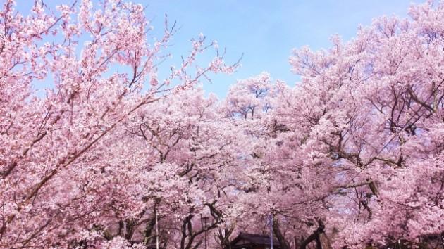 岡城跡(大分県竹田市)  桜の名所
