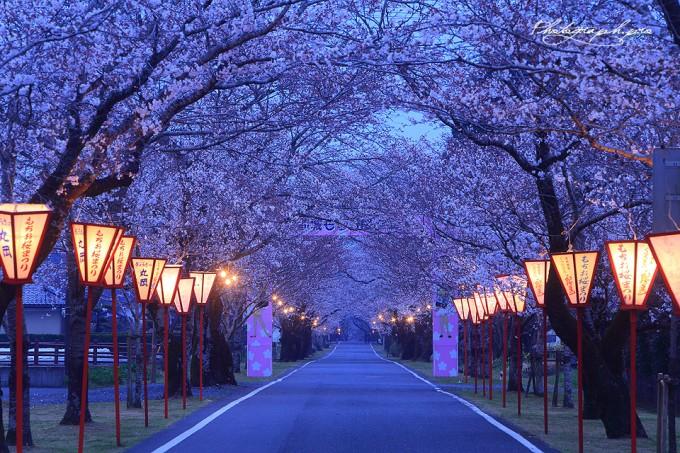 母智丘公園(宮崎県都城市)  桜の名所