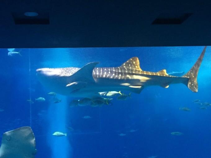 大水槽を泳ぐジンベエザメ