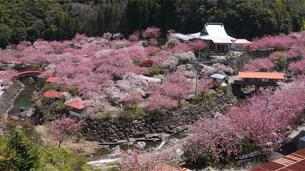 桜 一心寺1