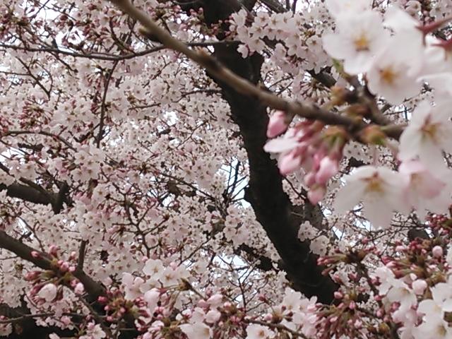 桜 大貞公園