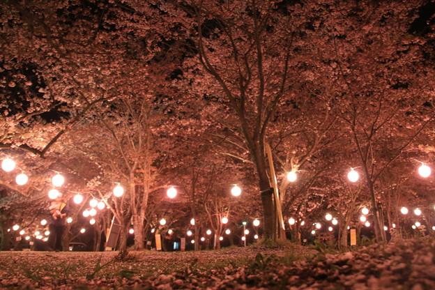 桜 大貞公園2