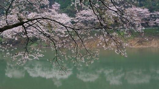 桜 日向神1