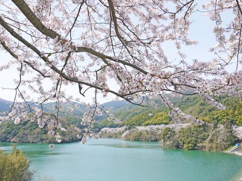 桜 昭和池