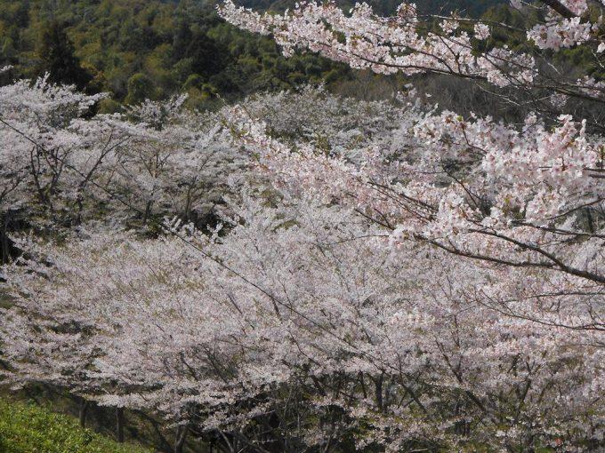 桜 昭和池2