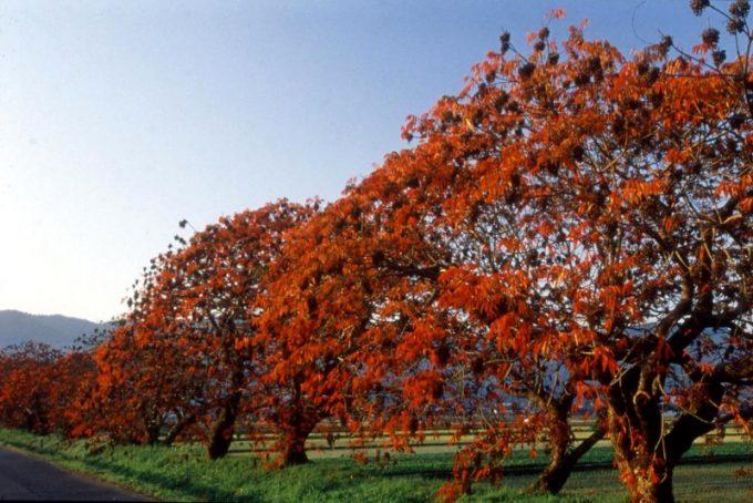 ハゼ並木紅葉