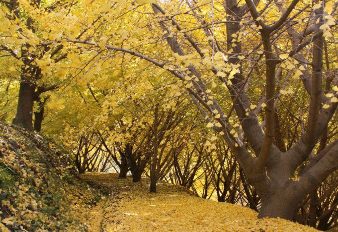 垂水千本イチョウ園