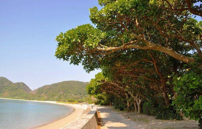 加計呂麻島デイゴ並木