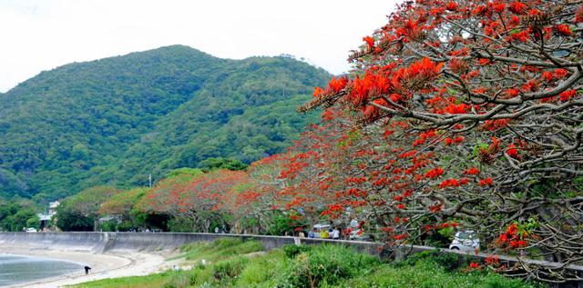 加計呂麻島デイゴ並木2
