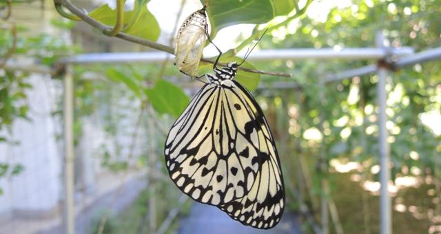 喜界島蝶飼育