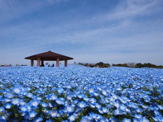 福岡 インスタ映え 海浜公園花