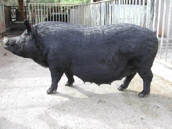 ところで、アグーってどんな豚?
