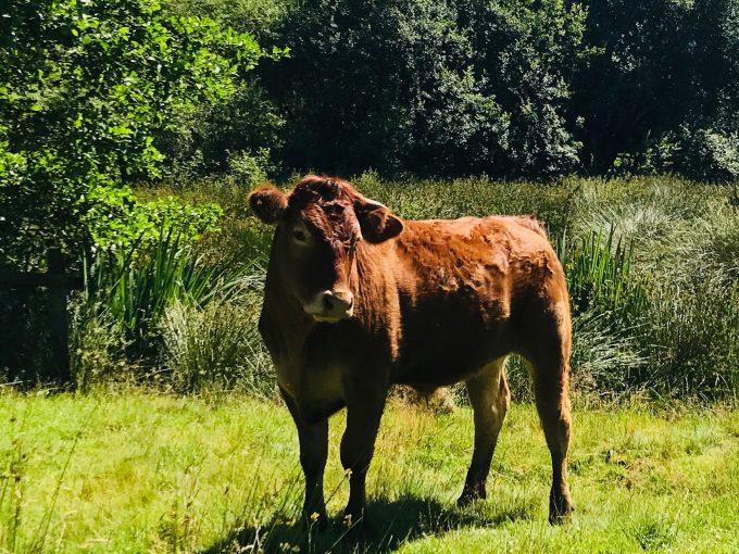 スキプトンで出会った牛