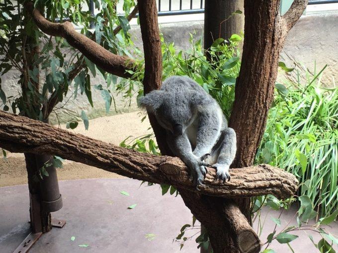 Australia ZOO コアラ