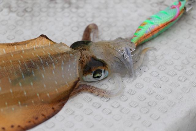 エビの模型でイカを釣る