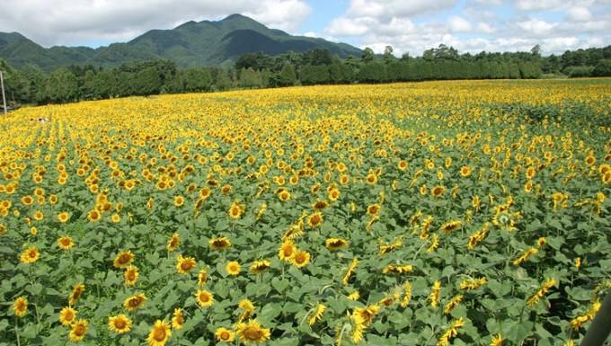 煙山菜の花/ひまわり畑