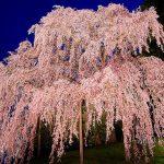 福島県で絶対に行きたい桜の名所