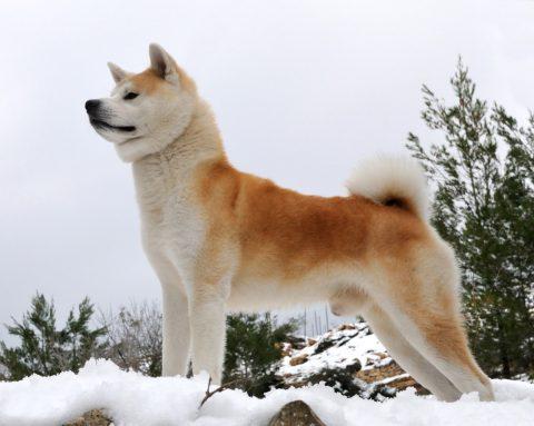秋田犬とのふれあいが可能