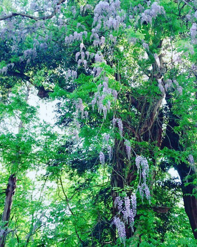 福島県 パワースポット 飛龍の藤の木