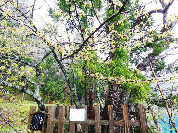 秋田 パワースポット御座石神社 七色木