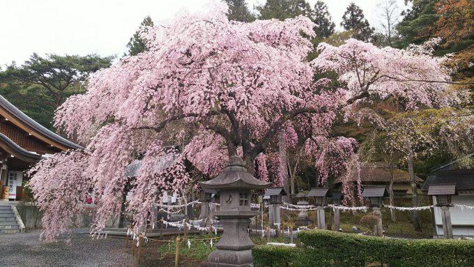 福島県 パワースポット 楽翁桜