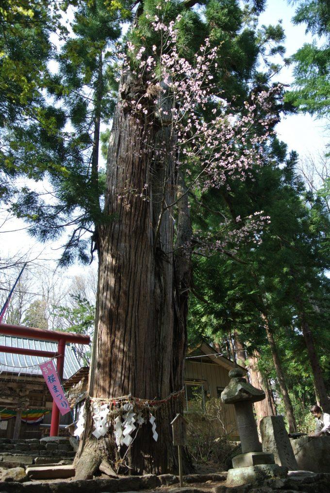福島県 パワースポット 磐椅神社 桜