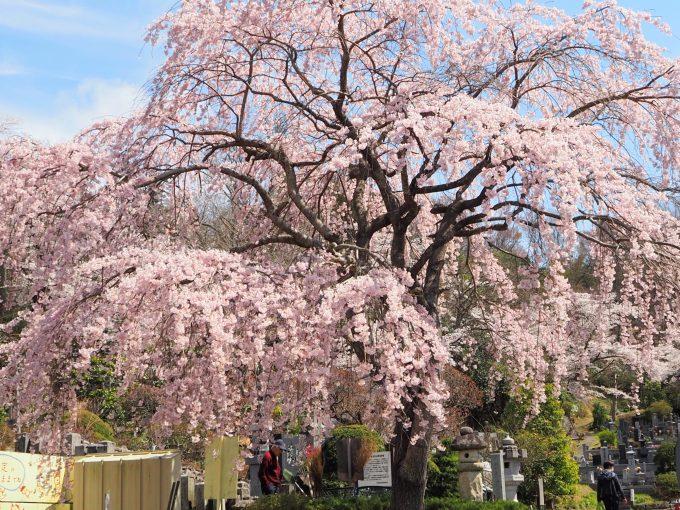 福聚寺(ふくじゅうじ)の桜