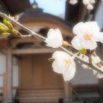 滝桜だけじゃない!三春町内のおすすめ桜スポット
