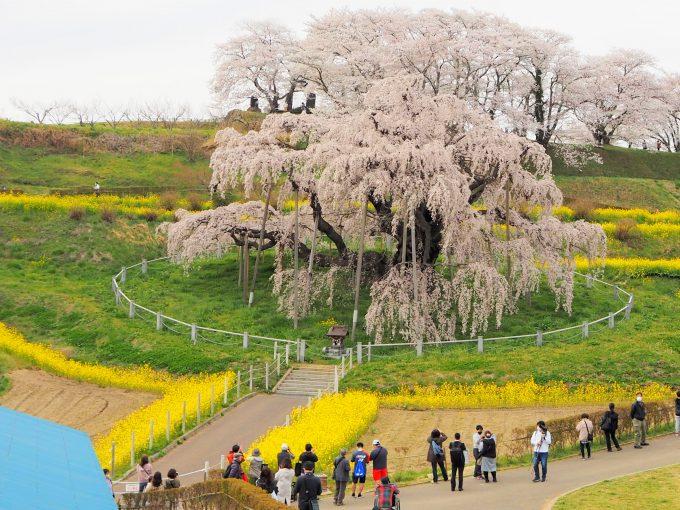 三春滝桜と滝桜に魅せられる人々