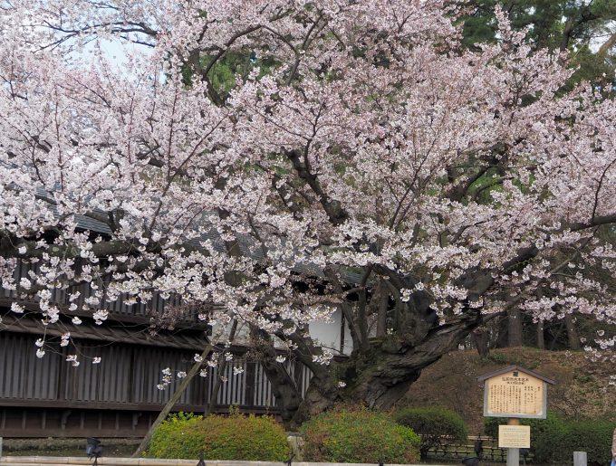 弘前公園 日本最古のソメイヨシノ