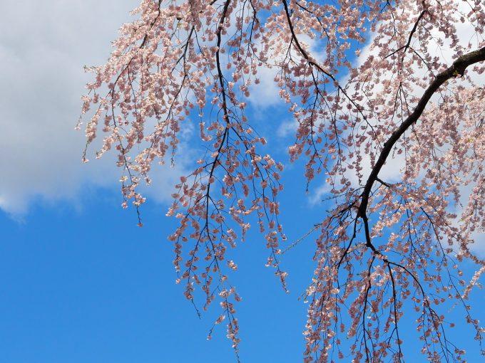 弘前公園 御滝桜