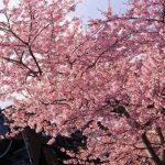 咲き始めから、散り際まで。全てが美しい静岡県のお花見スポット15選
