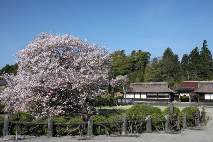 狩宿の下馬桜2