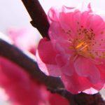 岐阜県で梅の花見が楽しめる場所9選 一足先に春を探しに行こう!