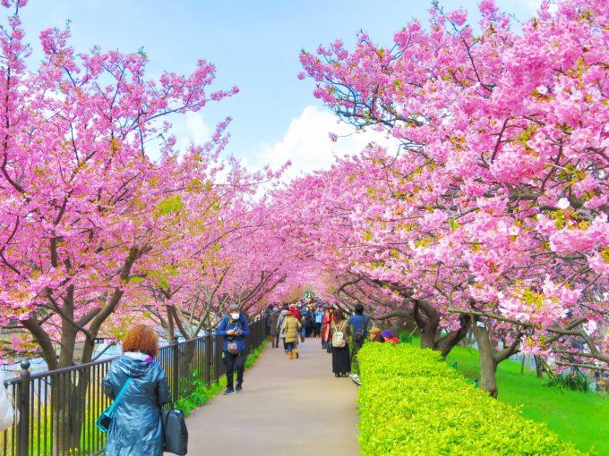 河津桜とは?