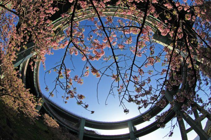 河津桜の楽しみ方