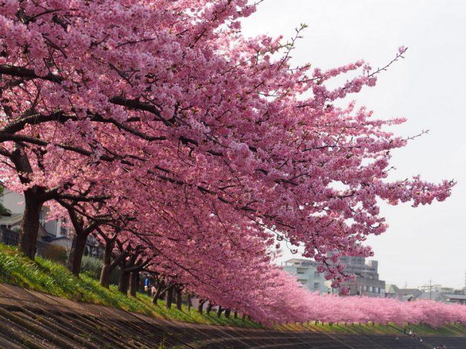 乙川堤の桜
