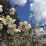 愛知県の梅のお花見スポット9選!ついでに早咲きの河津桜も楽しもう!