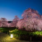 三重県の河津桜&梅で少し早いお花見を!定番と穴場スポットを厳選
