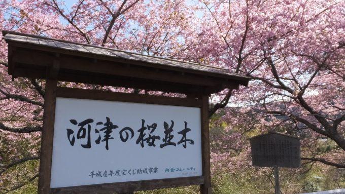 長篠河津桜並木