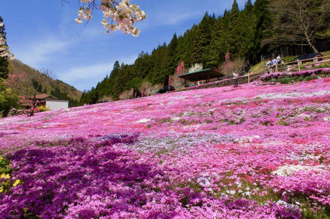 國田家の芝桜