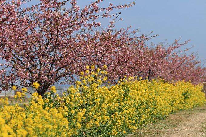 免々田川 菜の花・桜まつり