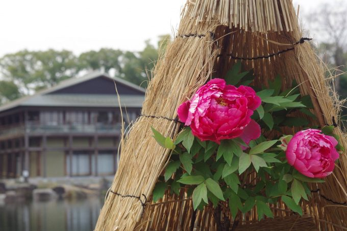 徳川園の冬牡丹